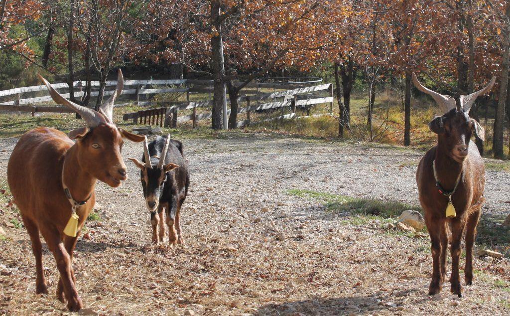 Chèvres en liberté à Destination Ailleurs à Castellane